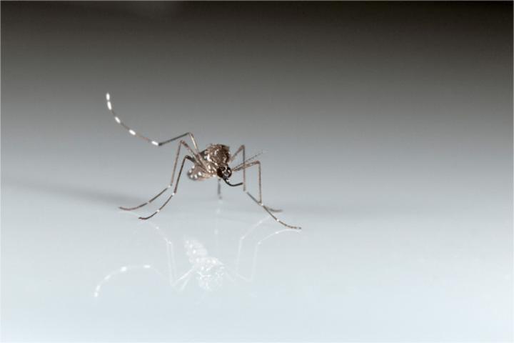 Sivrisinek çekiciliği genetik olabilir