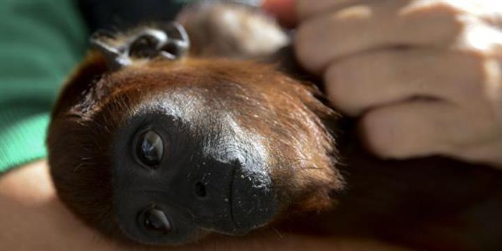 Maymuna kafa nakli yapıldı