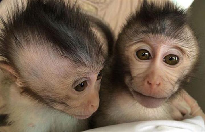 Genetik mühendisliğiyle ilk otistik maymunlar yetiştirildi