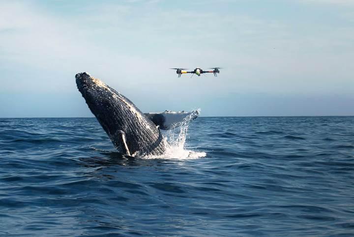 Drone'lar balinaların hayatlarını kurtaracak