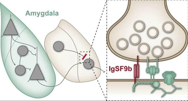 Beyindeki bir protein, kaygı bozukluğu tedavisinde kilit rol oynayabilir