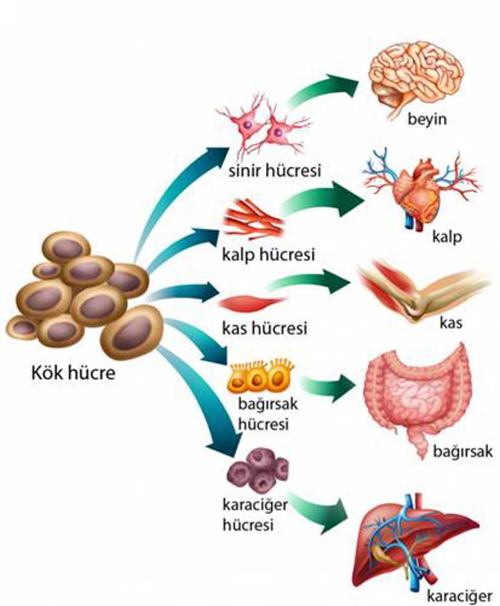 Özelleşmiş kök hücreler kan-beyin bariyeri üretilmesinde kullanılabilir