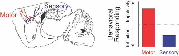 Bilim insanları beyindeki duysal sinyallerin yeni rolünü keşfetti
