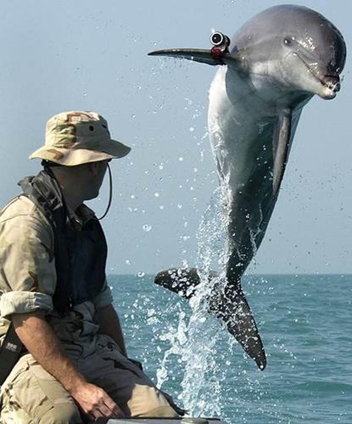 Norveç'te bulunan balinanın Rusların geliştirdiği bir silah olduğundan şüpheleniliyor