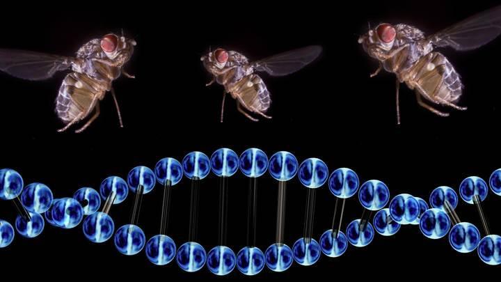 Genetiği değiştirilmiş sinekler kanser tedavilerinde kullanılacak