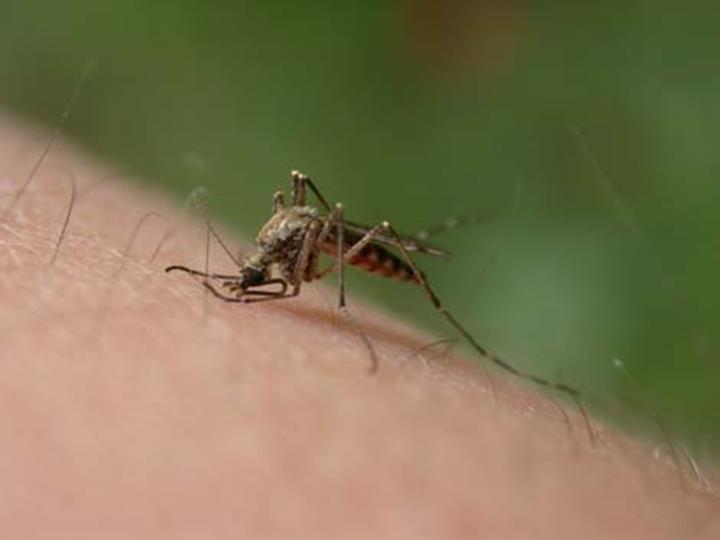 Sivrisinekler neden bazı kişilere daha fazla saldırır ?
