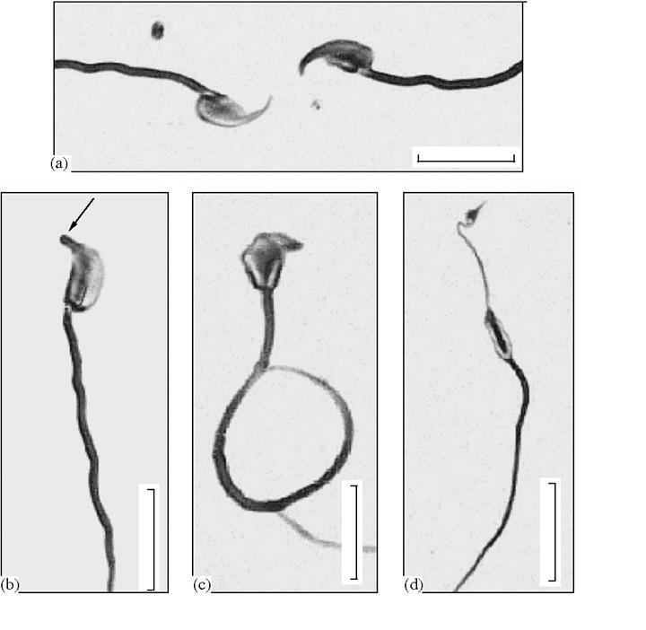 Sperm ayırma tekniği ile istenilen cinsiyette yavrular üretildi