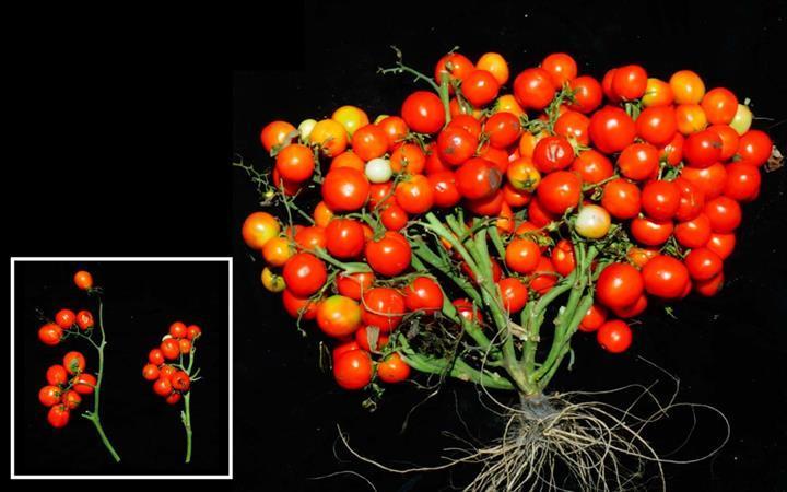 Genetiği değiştirilmiş salkım domates üretildi
